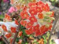 vignette Edgeworthia Chrysantha red dragon gros plan au 22 03 10