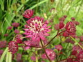 vignette Astrantia major Cv - Grande astrance