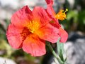 vignette helianthemum