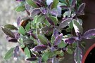 vignette Salvia officinalis 'Tricolor'