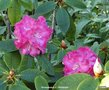 vignette Rhododendron X ' GERMANIA '