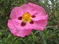 vignette Cistus purpureus Betty Taudevin gros plan au 30 04 10