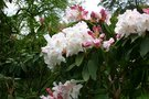 vignette Rhododendron 'Loder's White'