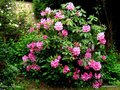 vignette Rhododendron x ' Pink Pearl '