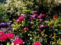 vignette Rhododendrons