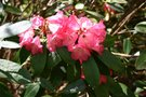 vignette Rhododendron 'General Eric Harrison'