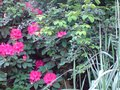 vignette Rhododendron 'Anna Rose Whitney'