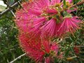 vignette Callistemon purple splendour gros plan au 15 06 10