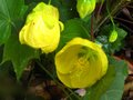 vignette Abutilon Canary bird au 17 06 10