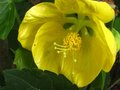 vignette Abutilon canary bird gros plan au 20 06 10