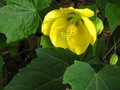 vignette Abutilon canary bird au 20 06 10