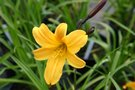 vignette Hemerocallis 'Golden Chimes'