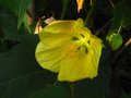 vignette Abutilon Canary bird au 28 06 10