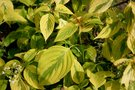 vignette Cornus alternifolia 'Golden Shadows'