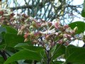 vignette Clerodendron trichotomum fargesii gros plan au 09 07 10
