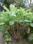 vignette Melianthus major