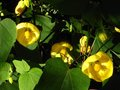 vignette Abutilon canary bird au 24 07 10