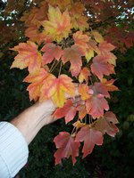 vignette Acer rubrum 'October Glory'
