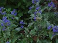 vignette Caryopteris clandonensis heavenly blue au 05 09 10