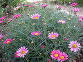 vignette Anthemis rose