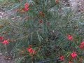 vignette Grevillea johnsonii au 24 03 11