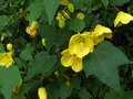 vignette Abutilon Canary bird au 08 06 11