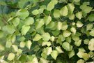 vignette Betula pubescens 'Yellow Wings'