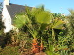 vignette Mon jardin, Washingtonia robusta