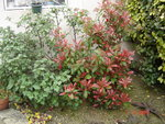 vignette photinia red robin