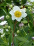 vignette Carpenteria californica