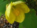 vignette Abutilon Canary Bird au 17 11 11