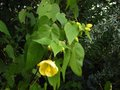 vignette Abutilon Canary bird au 29 12 11