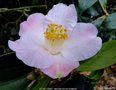 vignette Camélia ' J.C WILLIAMS ' camellia hybride williamsii