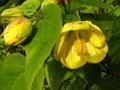 vignette Abutilon Canary bird au 18 01 12