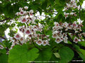 vignette Catalpa x erubescens - Hybrid Indian Bean Tree