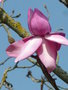 vignette Magnolia campbellii 'Betty Jessel'