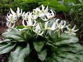 vignette Erythroniun californicum 'White Beaty'