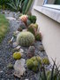 vignette Echinopsis candicans, ma cacteraie