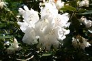 vignette Rhododendron 'Beauty of Littleworth'