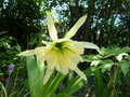 vignette Hymenocallis 'Sulfur Queen'