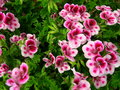 vignette de groupe Angel, Pelargonium 'White Duet'