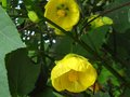 vignette Abutilon Canary bird au 13 07 12