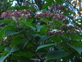 vignette Clerodendron Trichotomum fargesii au 17 07 12