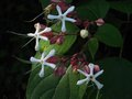 vignette Clerodendron Trichotomum fargesii gros plan au 20 07 12