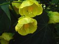 vignette Abutilon Canary bird gros plan au 22 07 12