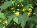 vignette Abutilon Canary bird au 30 07 12