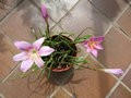 vignette Zephyranthes robusta