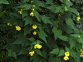 vignette Abutilon Canary bird au 29 08 12