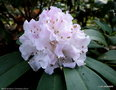 vignette Rhododendron   ' Christmas Cheer '