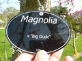 vignette Magnolia 'Big Dude'